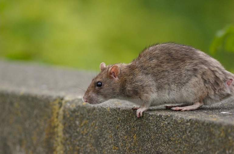 Как поймать крысу