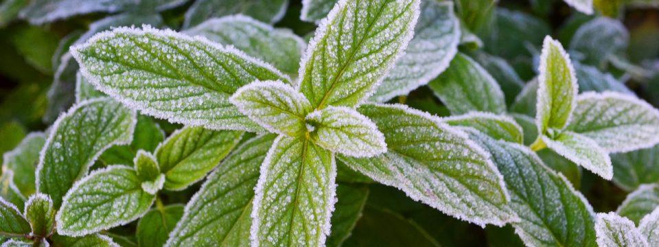 Можно ли заморозить мяту на зиму в домашних условиях