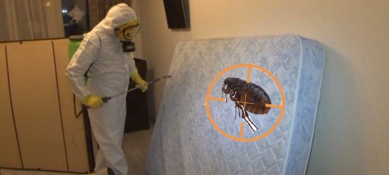 Как самостоятельно избавиться от блох в квартире