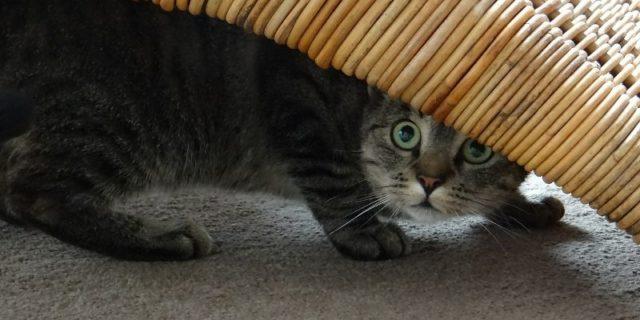 Кот в стрессе