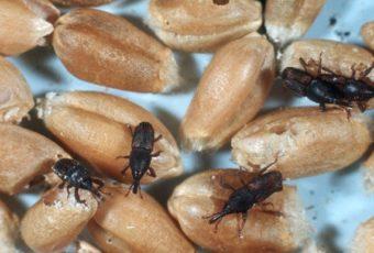 Почему в крупе заводятся жучки и как от них избавиться навсегда