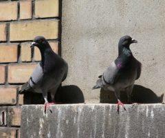 Надоели голуби на балконе? Пора от них избавиться