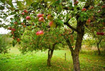 Обрезка яблони осенью и зимой: когда и как правильно обрезать, фото и видео