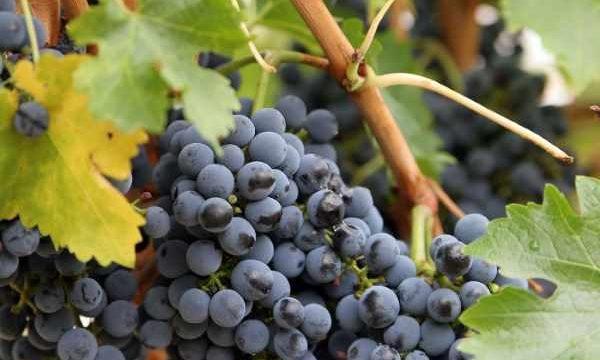 Обрезка винограда осенью для начинающих: пошаговая инструкция, фото, видео