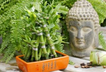 Комнатный бамбук: посадка, размножение и уход в домашних условиях