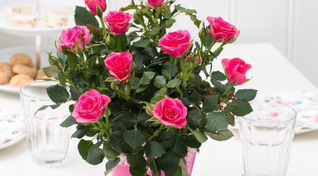 Как ухаживать за комнатными розами в домашних условиях: уход и пересадка