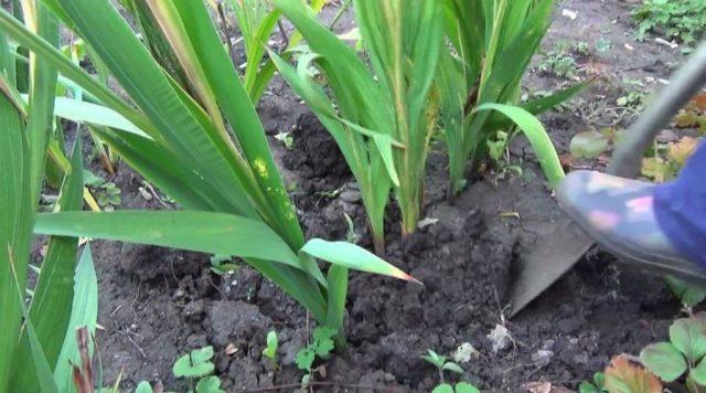 Как хранить луковицы гладиолусов в зимнее время