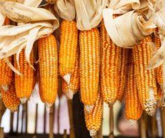 Как правильно хранить кукурузу в початках в домашних условиях на зиму