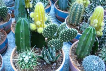 Как ухаживать за кактусами в домашних условиях: полив и пересадка
