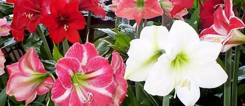 Гиппеаструм комнатный: выращивание и уход в домашних условиях, фото