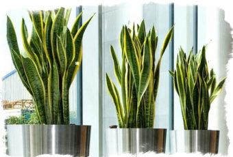 Цветок Щучий хвост: можно ли выращивать его в домашних условиях