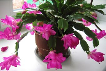 Цветок Декабрист – уход в домашних условиях: размножение, болезни и вредители