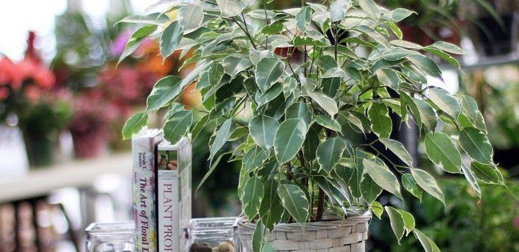 Фикус: уход в домашних условиях, почему опадают листья