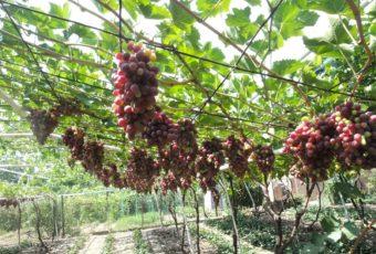 Где и как правильно хранить виноград в домашних условиях