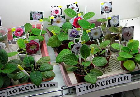 Глоксиния уход в домашних условиях (фото): пересадка, полив, рекомендации по выращиванию из семян
