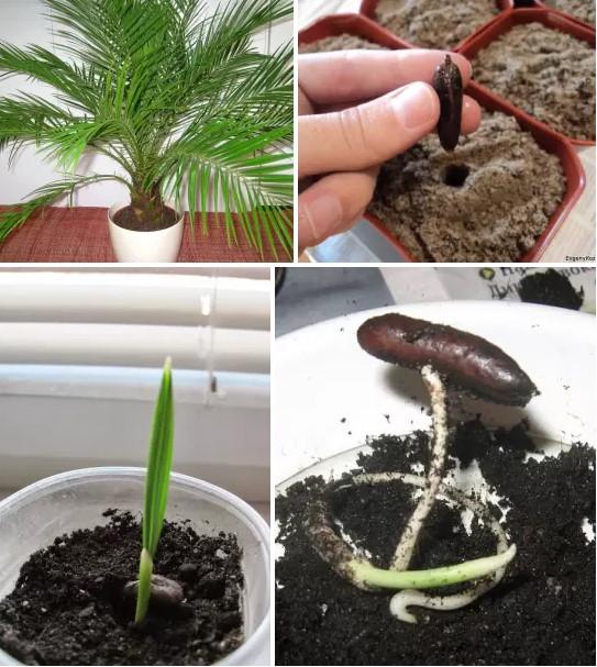 выращивание финика