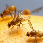 Избавиться от мух дрозофил