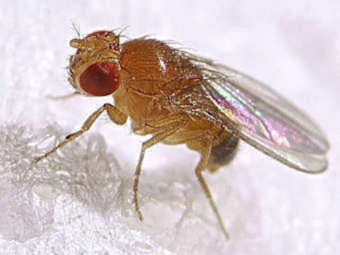 Как избавиться от мух дрозофил в доме