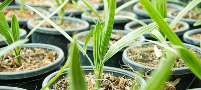 Выращивание финика из косточки в домашних условиях