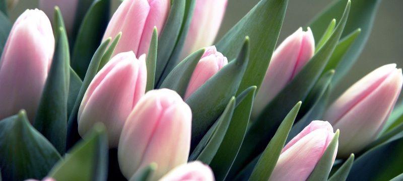 Где и как правильно хранить тюльпаны зимой в домашних условиях