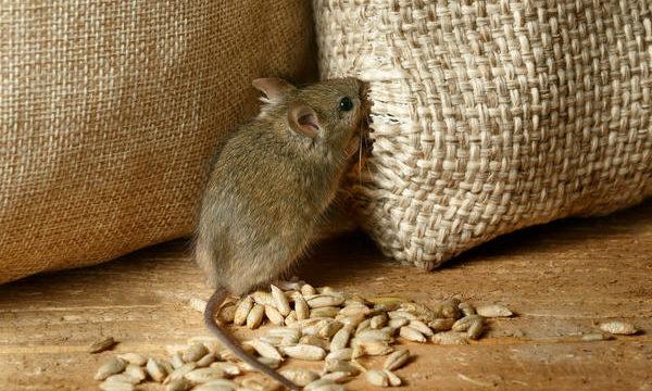 Как избавиться от мышей в частном доме или квартире навсегда