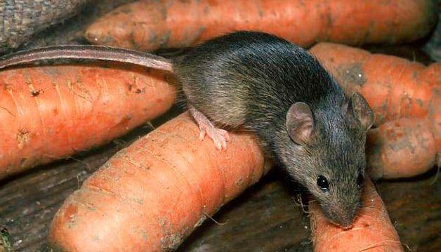 мыши портят урожай