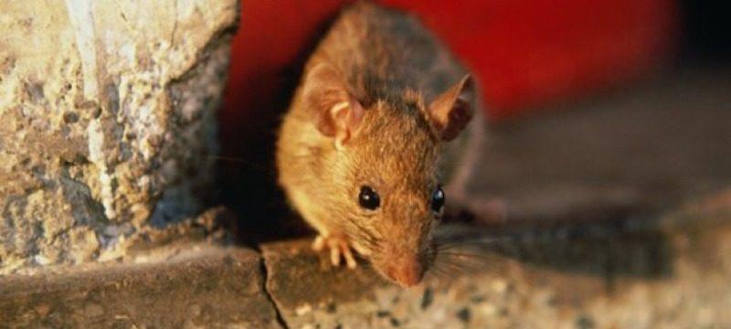 Как избавиться от крыс в частном доме и квартире