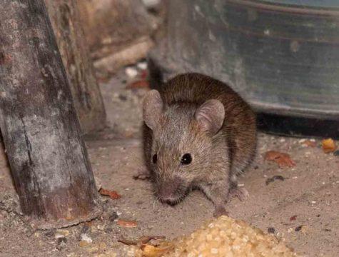 методы борьбы с мышами