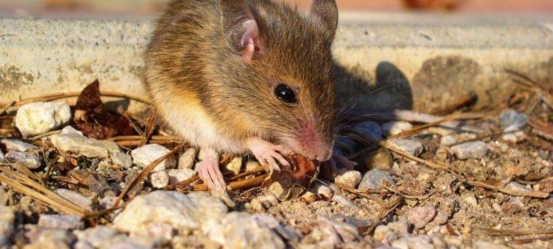 Как избавиться от запаха мышей в доме: эффективные советы и рекомендации