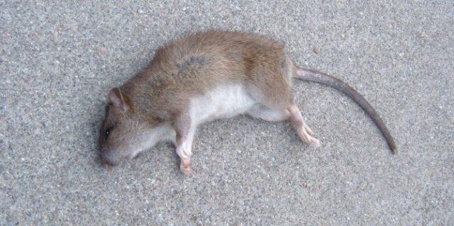 Как избавиться от трупного запаха мышей