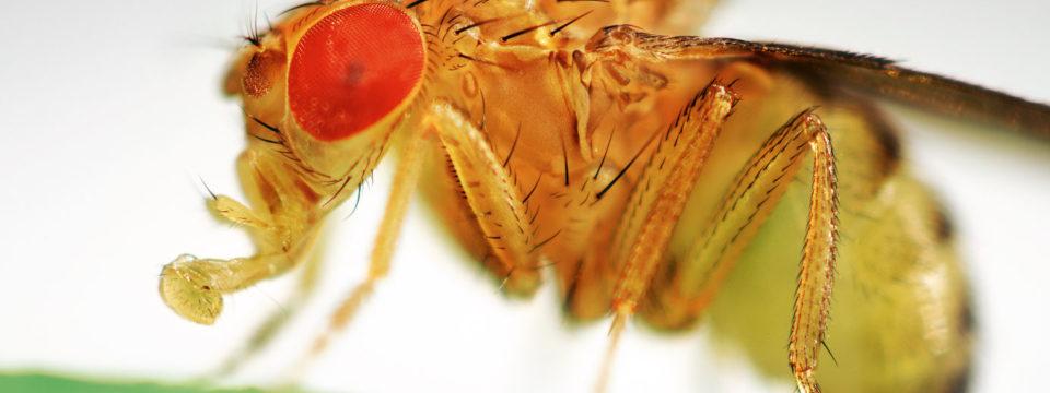 Откуда берутся плодовые мухи дрозофилы