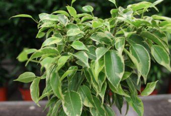 Почему у фикуса опадают листья зимой и летом