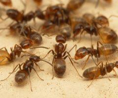 Как избавиться от муравьёв в доме народными средствами