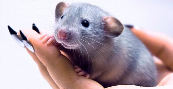 Год металлической Крысы: характеристика