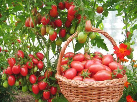 Виды выращивания томатов
