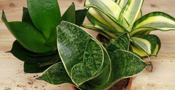 Сансевиерия: уход в домашних условиях, пересадка, болезни и вредители