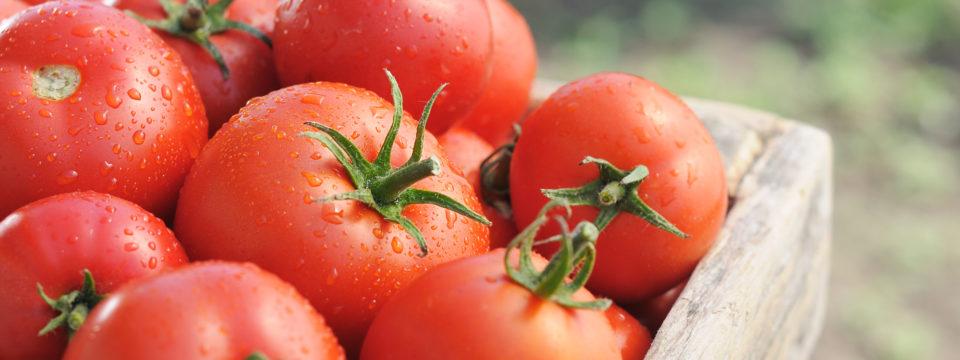 Лучшие сорта томатов для регионов в 2019 году
