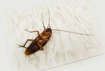 Тараканы в квартире: как бороться в домашних условиях