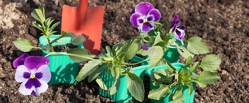 Как вырастить рассаду виолы в домашних условиях