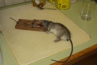 Народные средства и ловушки, которых боятся мыши и крысы
