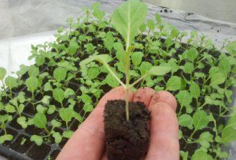 Как вырастить рассаду капусты кольраби в домашних условиях