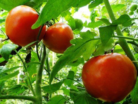 Урожайные сорта помидоров
