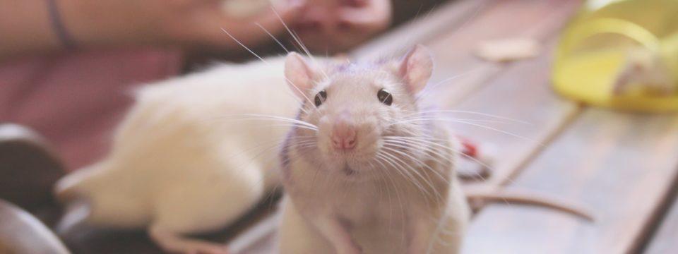 Народные средства и ловушки, которые боятся мыши и крысы