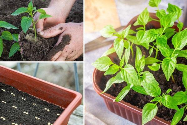Сроки посадки перца на рассаду