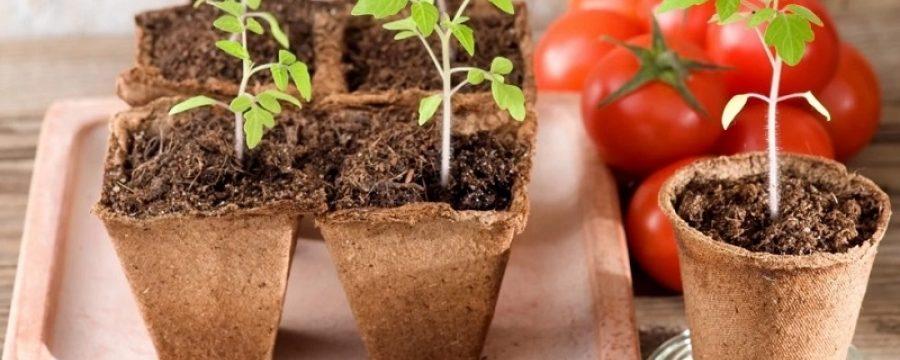 Когда сажать помидоры на рассаду в 2019 году: благоприятные дни
