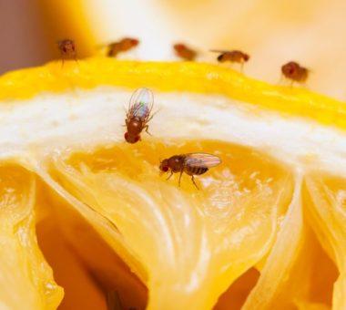Эффективные способы как избавиться от фруктовых мошек