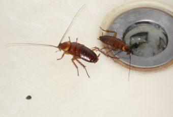 Тараканы в квартире: как бороться с насекомыми в домашних условиях