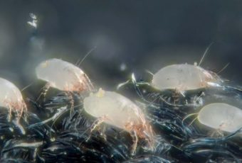 Постельные клещи: как выявить и чем вывести паразитов
