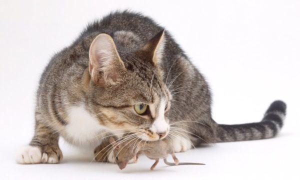 кошки от мышей в доме