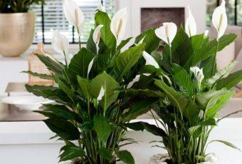 10 комнатных цветов, которые принесут удачу в дом